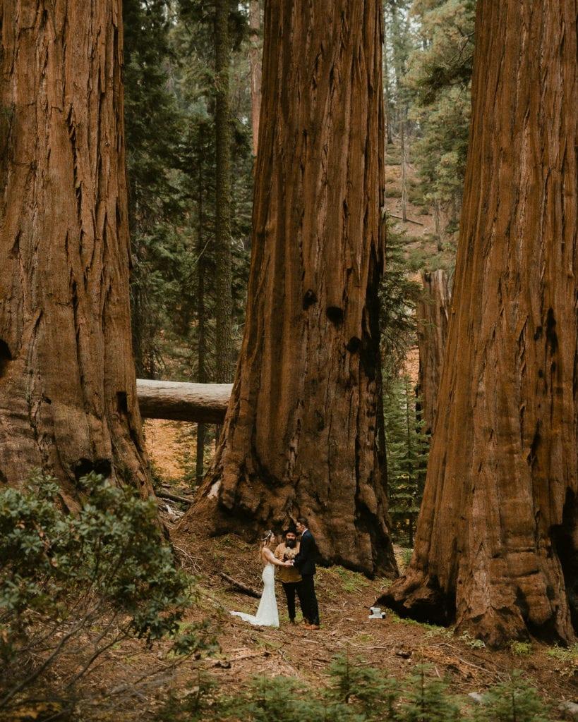 Zoom Wedding under three large redwoods.